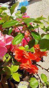 (*^▽^)/★*☆♪独り言(゜∇^d)!! ボケの花が また 咲きました。 今年 2度目の 開花です。そんな事 あるんですね〜(^∇