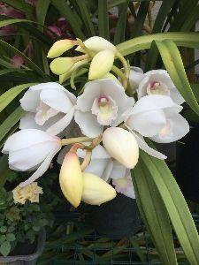 (*^▽^)/★*☆♪独り言(゜∇^d)!! シンピジューム 咲いています。 花の寿命が長いから 良いですね~( *´艸`)