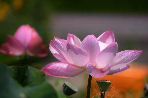 カメラもってぶらぶら 暑いね~真夏日  蓮の花は元気に咲いてるが、、