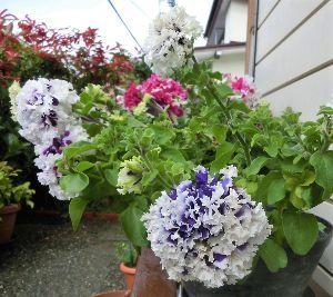 おはようございます~♪ 彩りを         咲いて愁いを         投げかけて  この花雨に弱くて~ もっと長く咲