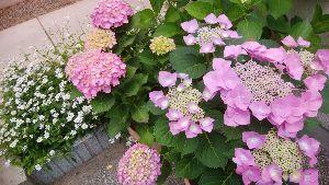 ボチボチ・・行きましょうか みなさんこんにちは、、  写真は、今朝の自宅ガレージ前の「都忘れ」と色付き「紫陽花」です。庭の露地栽