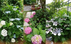 ボチボチ・・行きましょうか みなさんこんにちは、、  庭の露地栽培の紫陽花が庭のあちこちに島になりました。 右上の棚は、今年実を