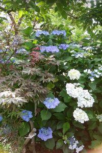 ボチボチ・・行きましょうか つづきです。  別場所の紅葉の種が花壇で育ち始め、紫陽花と一体化しました。