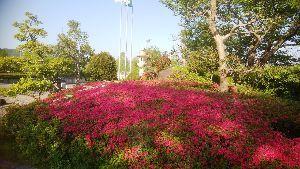 ボチボチ・・行きましょうか みなさんこんにちは、、  しばらくお休みしていました。 桜の季節の後、近くの公園のサツキが真っ赤に色