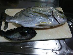 平日ポン円、土日は釣り 昨日の釣果。 ヘダイ39センチとコッパグロ。 今日は、真夏並みに暑かった!
