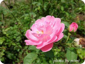 銀狼Ⅴ(5) シグさん、おはようございます♪ 今日のお花は、ピンクの薔薇です。 花言葉は、温かい心・可愛い人・愛の
