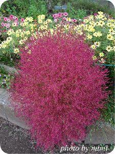 銀狼Ⅴ(5) シグさん、おはようございます♪ 今日の植物は、コキアの紅葉です。  黄緑から秋には赤く紅葉し、最後は