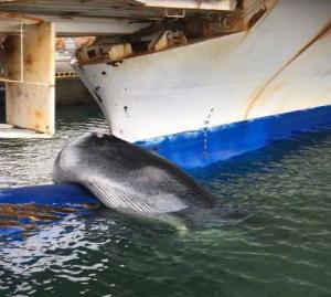 来週のレンジ予想 【フェリーにひっかかったクジラ】 北海道・苫小牧を出発し、宮城県仙台市の港に到着した大型フェリーの船