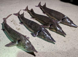 来週のレンジ予想 【大淀川でチョウザメ釣り】 宮崎市の大淀川下流で大陸産のシベリアチョウザメの釣果報告が相次いでいる。