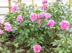 千葉の西から還暦超えた・・・ おはようございます。   昨日は、ネット情報で拾った、雀躍の花を撮りに行って来ました。  短距離です