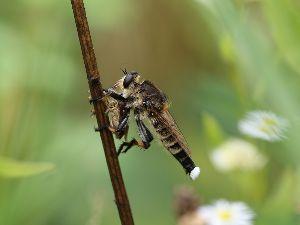 庭で見つけた小さな生き物 昆虫界最強の暗殺者とも言われている シオヤアブ。 何かを捕食中です。