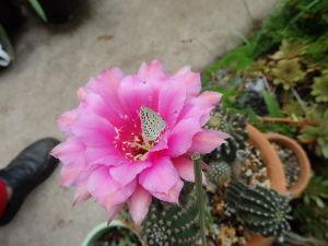 庭で見つけた小さな生き物 サボテンの花に来たヤマトシジミ