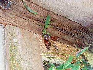 庭で見つけた小さな生き物 アブラゼミを捕らえたカマキリです。 廃屋の軒下でバタバタというセミの羽音がしました。 見に行ったら、