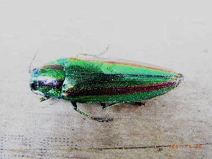 庭で見つけた小さな生き物 玉虫です。 見るのは久しぶり。相変わらず美しい。 でも死んでいます。