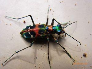 庭で見つけた小さな生き物 「なに、この虫、綺麗!」と思ったら「ハンミョウ」でした。 山道で数メートル先を飛んでは止まりして「ミ