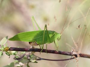 庭で見つけた小さな生き物 こちらは「サトクダマキモドキ」。 前脚の色は緑色です。
