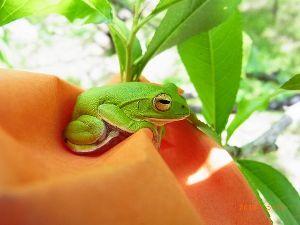 庭で見つけた小さな生き物 シュレーゲルアオガエルです。 桃の実を摘果しながら袋掛けをしていたら、 葉陰から出てきて実を包んだ袋