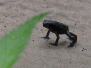 庭で見つけた小さな生き物 1cmぐらいの小さなヒキガエルです