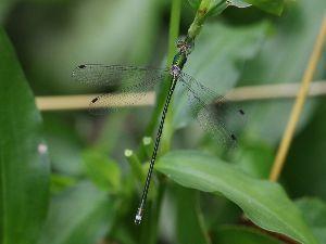 庭で見つけた小さな生き物 庭の草刈中に見つけた オオアオイトトンボ♂です。  全身金属光沢のある緑色で、 翅をハの字に広げて留