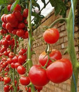 スペイン語、12週間、齧ってみようかなあ~、、、 How about a festival that's all about tomato