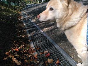 関西で撮影しましょう 喝っちゃんの散歩。  山手では、落ち葉に紅く色着いたのが目立つ様になった。  HouRikin