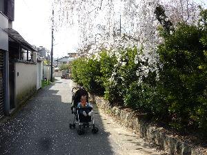 関西で撮影しましょう 桜か~っ  今朝8時半頃…喝の散歩へ行った時は二、三分咲きであったのに 午後の散歩では