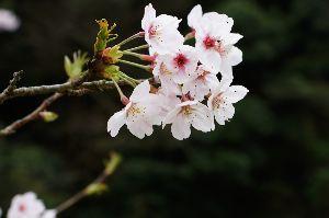 関西で撮影しましょう >桜か~っ  桜だ、淳子!  このネタで笑わないように。 笑うと歳が知れる。  ところでお花見行きま