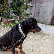 沖縄県でロッドワイラーの交配犬をさがしています。