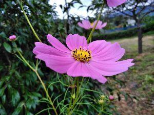 発信元 陸前高田から コスモスです 庭先に咲いてます🤗