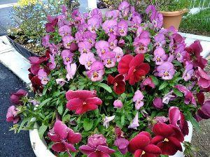 発信元 陸前高田から 陸前高田 花が綺麗に咲いて居ます😙😊