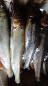 発信元 陸前高田から 川では鮎が釣れていますよ!