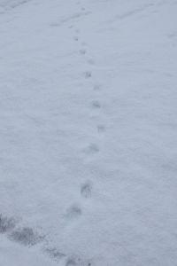 tos***** 向日葵さん・・・のぐささん!!!お久しぶりです。 これがうさぎだと思います? 昨年は朝起きるといろんな足跡があり テンも見かけます。