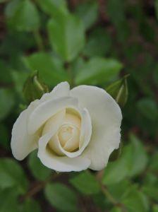 母の日 ☆彡   今日は「父の日」  小さな白い薔薇を持って  父のお墓へ行って来ました。   私が父から受