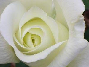 母の日    母の日は「カーネーション」   そして   もうすぐやってくる「父の日」の花は黄色い薔薇。