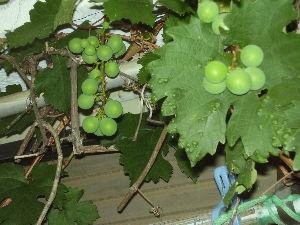 クロッカスが咲いた 葡萄の房もできたみたいだ。食べられると良いのだけど。