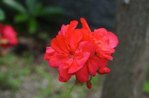 ★★★ 写真しま専科 ★★★ 久し振りにα77Ⅱで写真を撮りました。  庭に咲いている花です。  何と言う名前の花でし