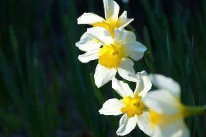 ★★★ 写真しま専科 ★★★ 先日は庭に咲いた黄水仙の写真を撮りました。