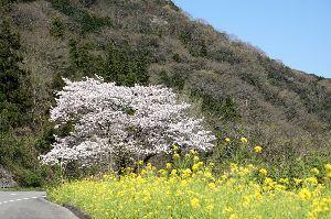 ★★★ 写真しま専科 ★★★ 桜の写真、撮って来ました! 阿歌古に行く途中の道沿いに沢山点在している桜のうちで、菜の花が前景に配置