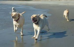☆老人の書き込み寺 犬の話が出たついでに、我が家の犬たちの近況写真を貼り付けます。。。 我が家の近くには太平洋の荒波があ