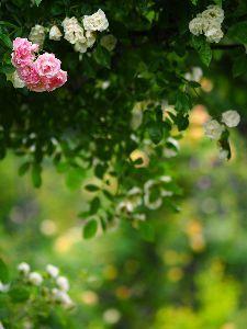 ☆東北の写真仲間大募集!!☆ こんばんは。  ハーフタイムですね。  hoshiさん 桔梗もユリも初夏の花。光とボケがいいっすね。