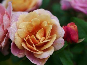 ☆東北の写真仲間大募集!!☆ おはようございます。  勝ちましたね~立派!!  今日は一日雨のようです。雨は薔薇の大敵なんだよね~