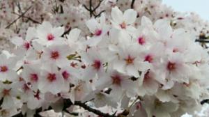 8230 - (株)はせがわ は、は、はせがわに花を咲かせマショー♪ 1500円相当の優待の為100株持ち続けマス。 百円単位の配