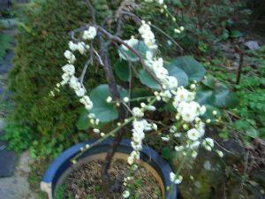 60代の人お話しませんか 、 葉の花です 我が家の枝垂れ梅が咲きました、