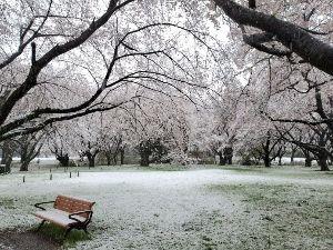 2928 - RIZAPグループ(株) 結衣さん  私も今日立川の昭和記念公園に雪桜を見に行こうと思いましたが、閉園でした。 ただ、HPに写