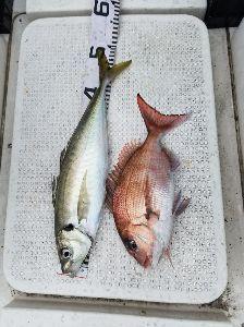 敦賀のボートフィッシング、釣り仲間募集 敦賀沖、今年初夜釣りでした。 先週の大アジより一回り大きい49センチ、50センチ来ました。 25~3
