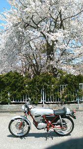 お仲間募集してます。(長野県東北信)   土曜日、ヨロヨロと「お一人様ツー」しました。 新潟県・妙高方面はまだ、桜がラストオーダーしてます