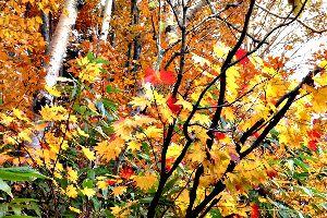 ? おはよ~うヾ(@⌒ー⌒@)ノ♪ 大雪山の紅葉も終わり気味、今度は里に下りてきてますね、大沼公園も綺麗