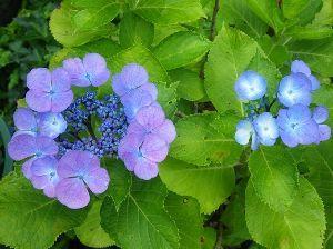 日々・・レスなしトピ 7月かぁ~。  早いなぁ。 梅雨明けはいつだろう・・。 紫陽花の時期も終わりかな。  七夕の日には素
