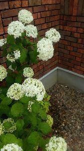 ミスチル板からきました♪ ぴんくさんが前に言ってたアナベル植えてたんだけど咲きました(^.^) たしかにレンガに似合うお花です