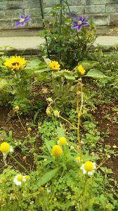 ミスチル板からきました♪ うちのアナベルはまだ咲いてなかったw  なので、別の今年植えた子たち♪  ペパーミント ひまわり ク